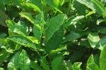 Chá Odor vegetal que recorda o das folhas de chá em infusão, com as delicadas fragrâncias de rosa aromática. O aroma do chá tem certo parentesco com o do jasmim. Aparece em vinhos brancos envelhecidos em barrica e em alguns tintos mais nobres.