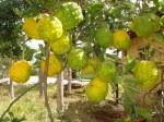Cidra Odor que recorda a fruta do mesmo nome, de características parecidas com o limão.