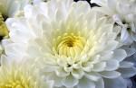 Crisântemo Odor floral, característico de alguns vinhos brancos secos, que recorda o desta túbera.