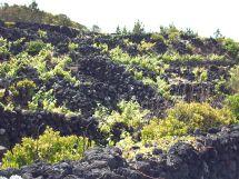 Pico - Curraletas do Vinho de cheiro e Verdelho (1)