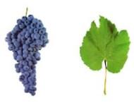 ESPADEIRO A casta Espadeiro é cultivada na região dos Vinhos Verdes e produz vinho muito apreciado na região. Pode adotar outras denominações de acordo com o local onde é cultivada: Espadão, Espadal, entre outras designações. Esta casta é muito produtiva e apresenta cachos de grande dimensão, compactos e constituídos por bagos médios e uniformes. Os vinhos produzidos com esta casta são acídulos e de cor rosada clara ou rubi muito aberta (quando submetidos ao processo de curtimenta prolongada). Algumas adegas produzem vinho rosé a partir da casta Espadeiro.