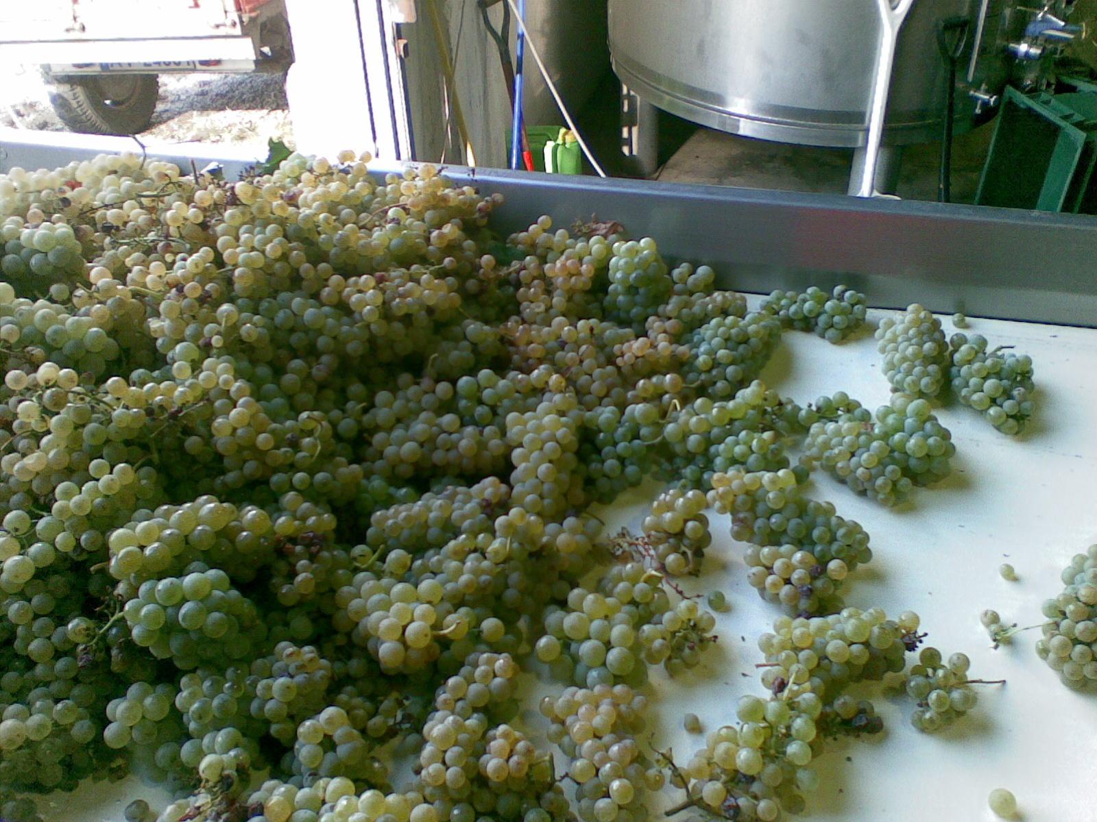 Receção de uva branca em passadeira