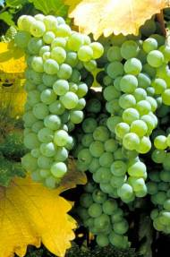 SAUVIGNON BLANC Sauvignon blanc é uma casta de uva branca da família da Vitis vinifera, originária da região da Bordeaux, na França. Produz vinhos secos e refrescantes que possuem, como principais características, seus aromas minerais, vegetais e toques frutados. Pesquisa de ácido desoxirribonucleico realizada indicou que a sauvignon blanc e a cabernet franc são parentes da cabernet sauvignon. É a principal uva da região francesa do Loire.