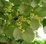 Tília Delicado aroma da flor desta árvore que aparece em alguns vinhos brancos.