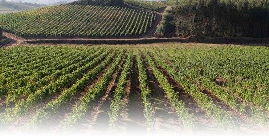 A vinha é conttituída por 120 hectares, na qual se encontram plantadas variadíssimas castas brancas e tintas. Sauvignon Blanc, Arinto, Viosinho, Viognier, Chardonnay, Petit Manseng, Cabernet Sauvignon, Tinta Roriz, Touriga Nacional, Tannat, Petit Verdot, Syrah, são alguns exemplos. A paisagem da vinha é responsabilidade do Engº. Bento Rogado.