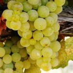 Casta Chardonnay