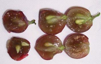 Polpa de uva