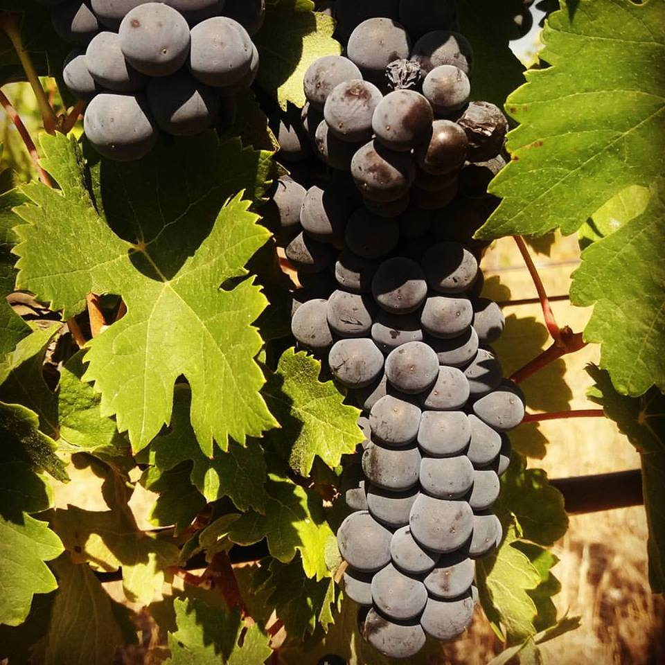 Como Se Produz Vinho - O Ciclo Vegetativo da Videira