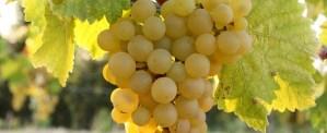 slideshow-grapes-5001