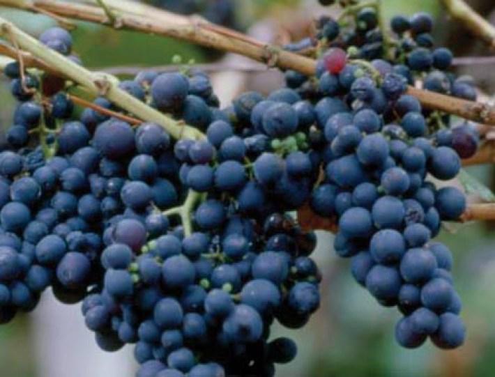 Região do Vinho da Madeira e como se produz 14