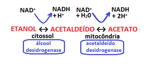 Metabolismo do Álcool2