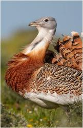 nature_great_bustard