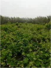 colares-1os-frutos-e-floracao-malvasia