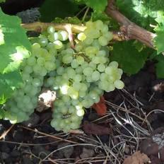 vinho-do-pico-9