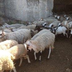 ovelha-churra-13