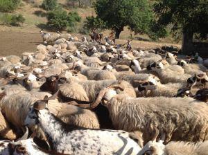 ovelha-churra-15