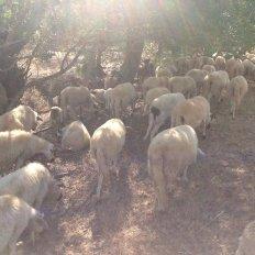 ovelha-churra-4