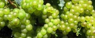 chablis-chardonnay