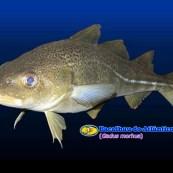 bacalhau-gadus-morhua-3