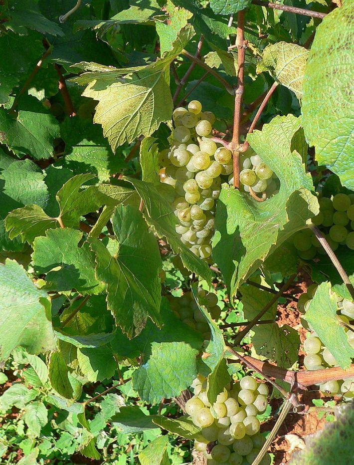 800px-malvasia_grapes