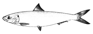 sardinella-aurita