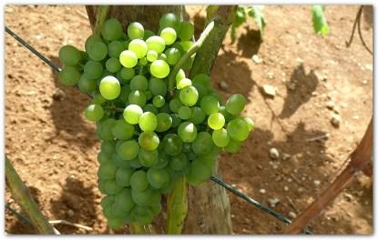uva-verdelho