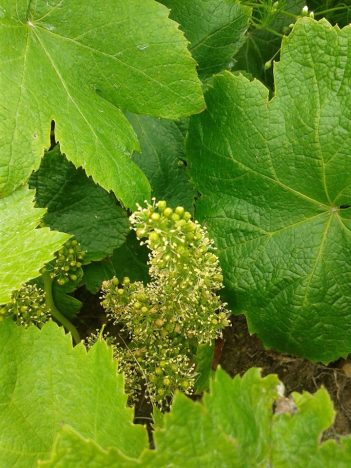 1os-frutos-malvasia-2