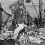 codfish-on-the-grand-banks