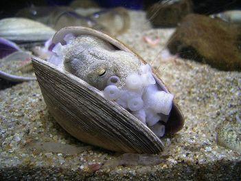 octopus-vulgaris-escondido