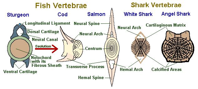 Comparação das vértebras dos diversos peixes