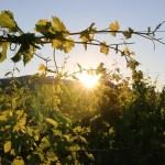 vigne-tressee-beckhartweg