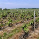 800px-Vouvray_Vineyard_after_budbreak
