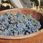 Uvas de Toutiga Nacional para a Adega de Arruda dos Vinhos
