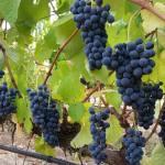 CM Wines TN 7