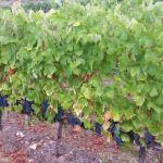 CM Wines TN e Alfrocheiro 4