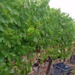 CM Wines TN e Alfrocheiro 8