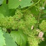 Melon de Bourgogne durante a floração