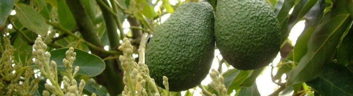 Avocado-fruit-and-flowers-e1470755414405-mv2row7e8hfeetryt6jnzwsbnlm7qcw95w3bieuth4
