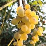 Castel Mimi grapes