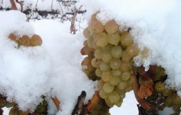 muscat grapes for ice wine