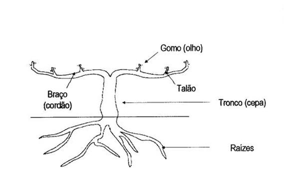 Esquema da videira no surgimento dos gomos