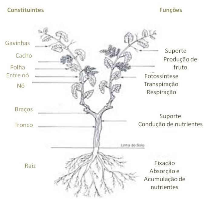 Morfologia final da videira com fruto - distam 2 a 3 meses até aparecer o pintor