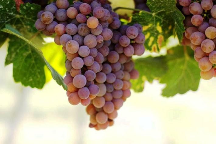 uvas aramon em desenvolvimento