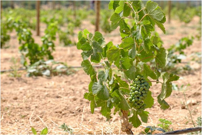 vinhas com uvas verdes