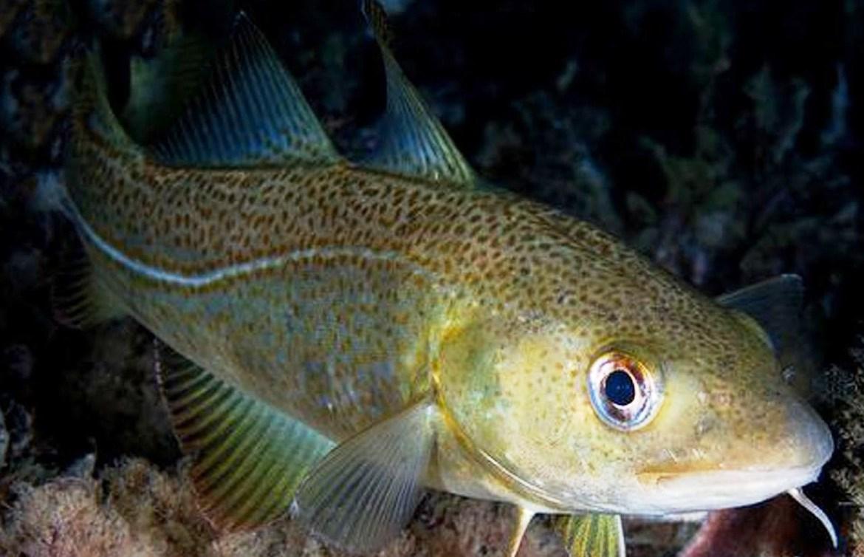 Bacalhau Atlantico Gadus morhua