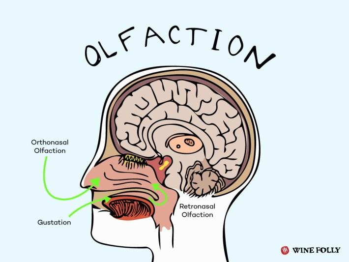 Morfologia humana perante os aromas olfativos