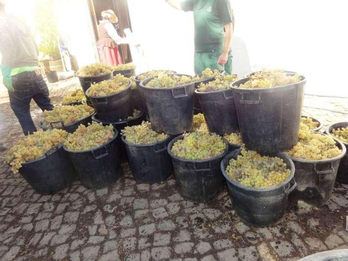 Uvas de Galego Dourado à espera de ir para o desengaçador