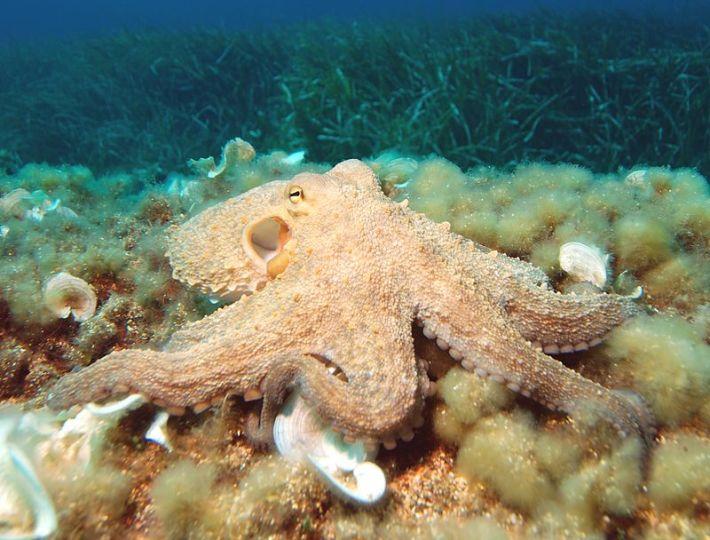 Octopus vulgaria no seu habitat