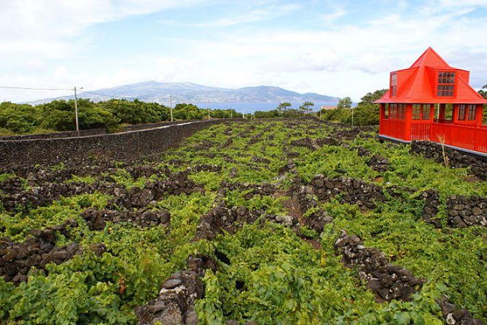 Vinhas do Pico um Património Mundial e Histórico da UNESCO 12