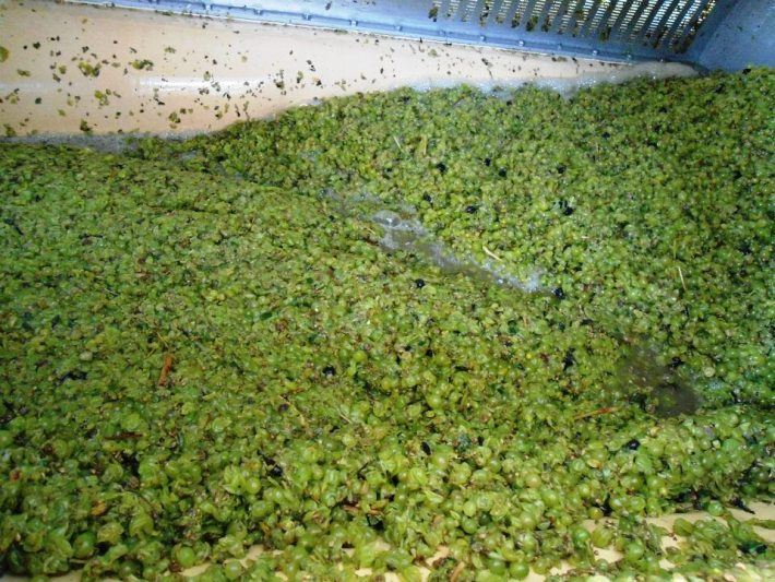 Uvas para transformacao base espumante